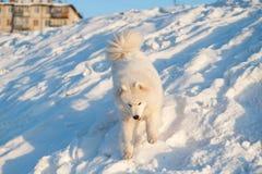 One Samoed dog white Stock Photo