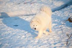One Samoed dog white Royalty Free Stock Photos