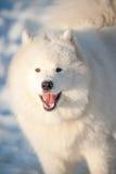 One Samoed dog white Stock Images
