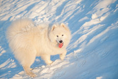 One Samoed dog white Royalty Free Stock Photo