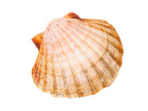 One scallop isolated Royalty Free Stock Photo