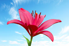 One scarlet fire lily against blue sky Royalty Free Stock Photography