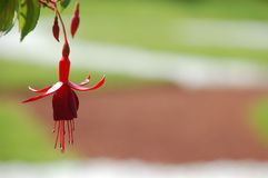 One scarlet flower plants fuchsia, a type of ballerina. The photo shows a very beautiful fuchsia flower close-up with a green background stock photos