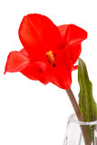 One scarlet tulip Stock Photography