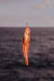 One Sea Fish Hooked Stock Photography