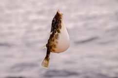 One Sea Fish Hooked Royalty Free Stock Image