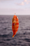 One Sea Fish Hooked Royalty Free Stock Photography