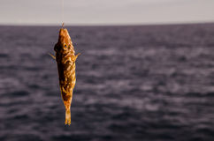 One Sea Fish Hooked Royalty Free Stock Images