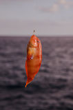 One Sea Fish Hooked Stock Images