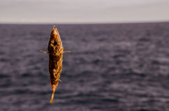 One Sea Fish Hooked Stock Photo