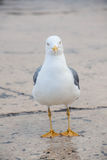 One sea gull front view Stock Images