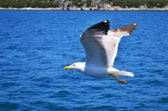 One sea-gull with wings wide spread is flying low over water. royalty free stock photo