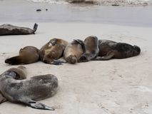 Sea Lion Group, Zalophus californianus wollebaeki, on the beach, San Cristobal, Galapagos, Ecuador. One Sea Lion Group, Zalophus californianus wollebaeki, on the stock photos