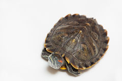 One sea red-eared sliders Royalty Free Stock Photos