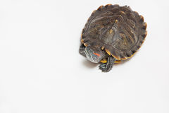 One sea red-eared sliders Royalty Free Stock Images