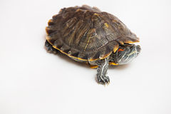 One sea red-eared sliders Stock Image