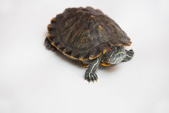 One sea red-eared sliders Stock Photography