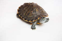 One sea red-eared sliders Stock Photos