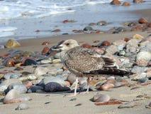 Seagull on Baltic sea coast Stock Photography