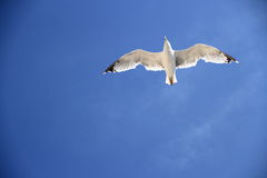 One seagull on the blue sky as background Stock Photography