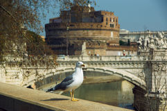 One seagull costs on parapet against background of Tiber and castel of Saint Angelo Royalty Free Stock Photo