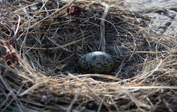 One Seagull egg in a nest on a rock in the sea of Okhotsk Stock Photos