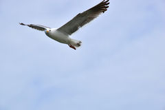 One seagull flying. Against a blue sky. Horizontal orientation with copy space for text Royalty Free Stock Photos