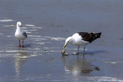 One seagull got a shell, but another, smaller seagull is looking royalty free stock images
