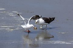 One seagull got a shell, but another, smaller seagull was faster royalty free stock photos