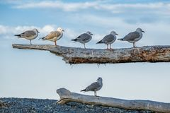 One seagull highlighted among five friends Stock Photos