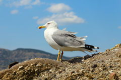 One seagull on the rock Royalty Free Stock Photography