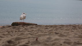 One seagull sandy beach ocean. Bird sitting tree trunk clody day stock video footage
