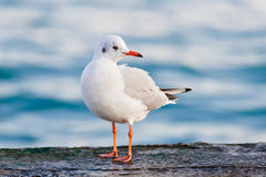 One seagull side view Stock Photography
