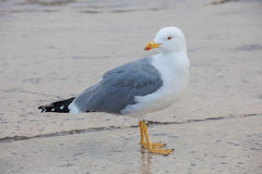 One seagull, side view , looking back Royalty Free Stock Photo