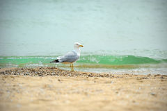 One seagull side view. Royalty Free Stock Images