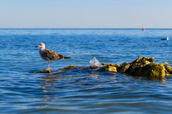 One seagull stending on steady stones in a sea Royalty Free Stock Photo