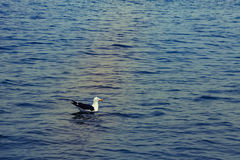One seagull swim and rests after flying in the blue air above th. E Atlantic Ocean at Swakopmund, Namibia, South Africa Stock Photo