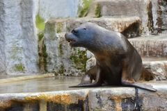 One seal or Pinniped are sitting on the stone. Vienna zoo, Austria, October 2017 royalty free stock photography