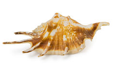 One seashell Stock Images