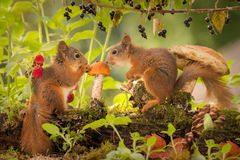 One seed. Young red squirrels watching a mushroom with a seed on it with branch with raspberries and black current Stock Photos