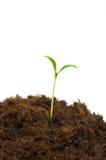 One seedling Royalty Free Stock Image