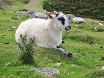 One of the self-conscious sheep of Ireland. County Donegal. Stock Images