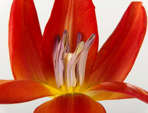 One separated open, red tulip flower. Stock Images