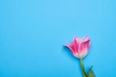 One separated tulip flower over blue flatlay Royalty Free Stock Image