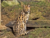 Serval, Leptailurus serval, is a tough cat. One Serval, Leptailurus serval, is a tough cat royalty free stock photography