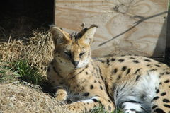 One serval. 's resting in the sun Stock Photography