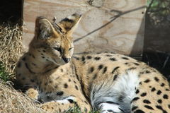One serval. 's resting in the sun Royalty Free Stock Image