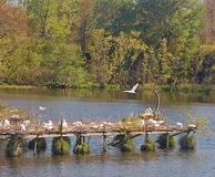One of Several Areas Created for Snowey Egrets to Nest Stock Images