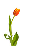 One Tulip. A single red and yellow tulip presented against white background. Flower has lots of curves and lines royalty free stock photo