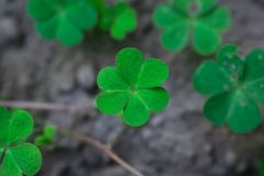 One shamrock leaf focused rising from bottom stock photography